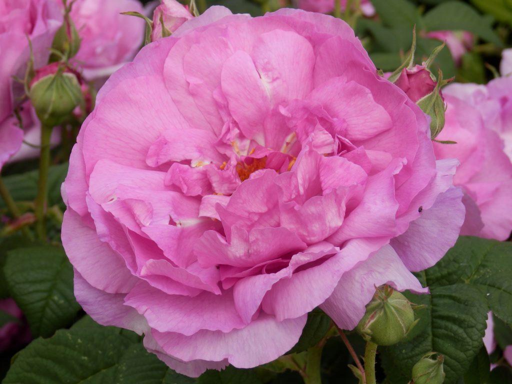 Eine pinkfarbene Kamelienblüte, vollaufgeblüht